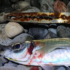「渋くても 真鯵が戻って ホッとして」サーフサビキ釣り 2年目の11月15日