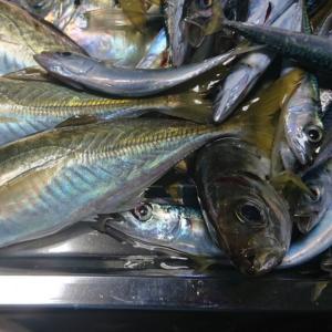 おかず釣り師が行く!「アミエビが 高くてパン粉で ごまかして」 鰺釣り 投げサビキ釣り 夜釣り