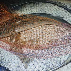 おかず釣り師が行く!「竿出せず 梅雨の夜長の 暇つぶし」 #鰺半夜釣り #投げサビキ #波止からの釣り
