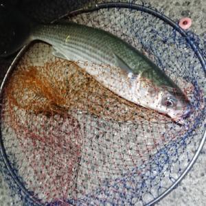 おかず釣り師が行く!「梅雨荒れで 魚の顔も 忘れがち」 #鰺半夜釣り #投げサビキ