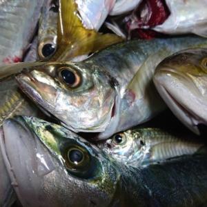 おかず釣り師が行く!「梅雨明けて 釣れると思えば 低迷し」#鰺釣り #投げサビキ釣り #半夜釣り