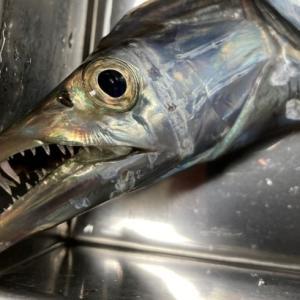 おかず釣り師が行く!「オキアミの テンカウントで タチオ釣り」#太刀魚釣り #波止釣り #マヅメ狙い