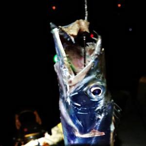 おかず釣り師が行く!「危なくて おいしい魚 太刀魚は」#太刀魚は歯が危険 #噛まれたら大けが #素早く締めて良く冷やす