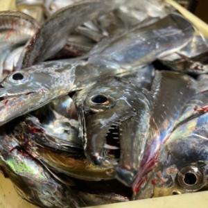 おかず釣り師が行く!「天高く おかず釣り師が 肥える秋」 #太刀魚釣り #鯵釣り #波止釣り