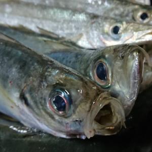 おかず釣り師が行く!「鰺釣りの 集魚とリール 見直して」#鰺サビキ釣り #深夜 #集魚灯