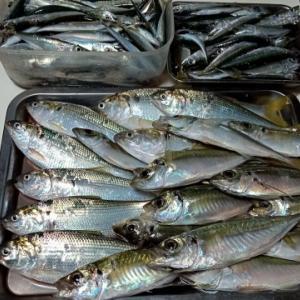 おかず釣り師が行く!「冷凍の アミエビ使う その工夫」#鯵釣り #波止釣り #サビキ釣り