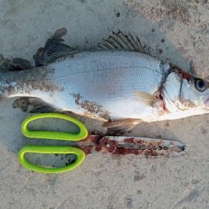 おかず釣り師が行く「渋ければ サビキと餌の 合わせ技」#サビキ釣り #鰺釣り #かご釣り #投げサビキ
