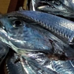 おかず釣り師が行く!「祝祭日 太刀魚釣りで 大混雑」