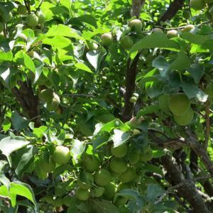 今年の小梅、過去最高の収穫量