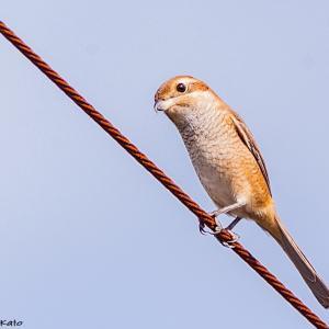 足羽山の鳥さんウォッチング ~かわいい表情のモズさん、木陰のヤマガラさん~