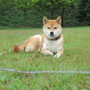 芝生でスフィンクスになる柴犬