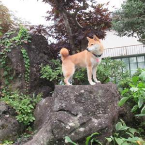 柴犬が庭を駆け回るワケ