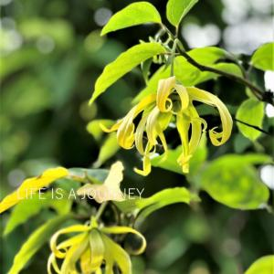 移住2Y10M【Bukit Jalil】オリエンタルな香り「イランイラン」に高揚♡