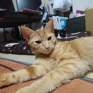 【猫の膀胱炎】アシドユリン使ってみた