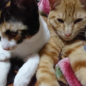 【猫の膀胱炎】うちの猫もなっちゃいました…:診察1回目