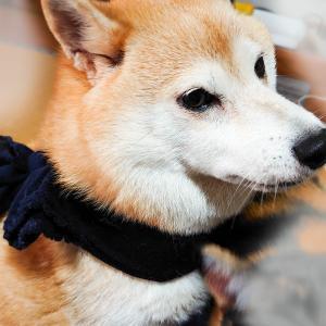 【型紙ミシン手縫い不要】犬用保冷クールバンダナをさらに簡単に。結ぶだけ!