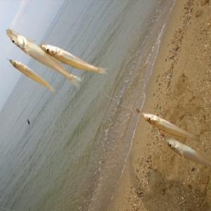 【キス(シロギス)】釣れる時期と時間、釣れる場所