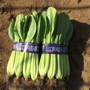 2月12日 NO.1ハウス小松菜収穫作業