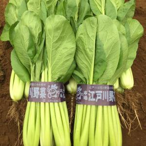 今日も朝から小松菜の収穫作業を行いました。