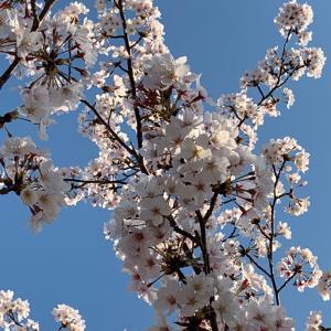 桜とホワイトアスパラガスと蛍イカのパスタと在宅ワーク