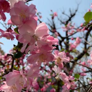 桜が満開 春らんまん / いきなりステーキ