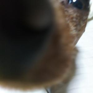 てんかん犬への水素吸入 ②