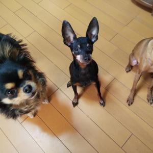 てんかん犬への水素吸入 ④
