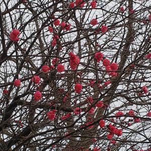 ポツンポツンと梅の花