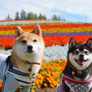 北海道の旅12日目-2|絶景の展望花畑・四季彩の丘