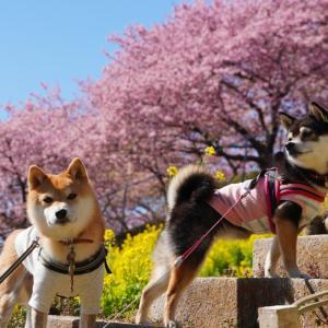 松田山(西平畑公園)|富士山と河津桜と菜の花と