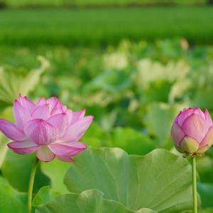 早朝散歩と蓮の花