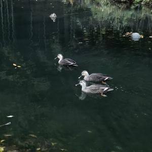 カモ / die Ente / duck