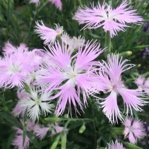 ミーティアピンクの花は
