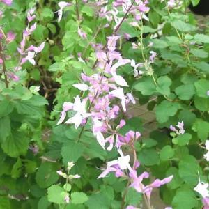 オルトシフォン・ラピアツスの花は