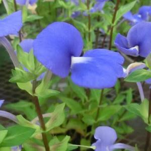 ブルーキャッツアイの花は
