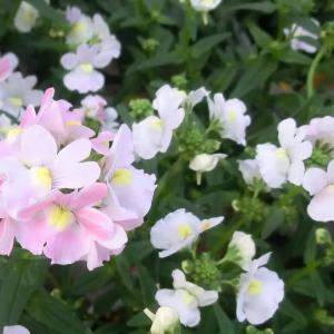 ネメシア・メーテルの花は