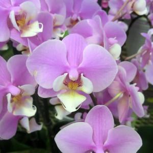 ビューティシーナの花は