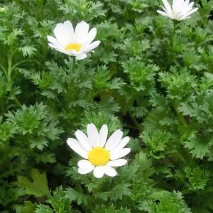 ノースポールの花は