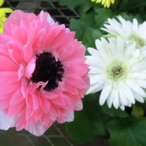 アネモネ・オーロラの花は