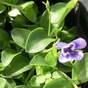 リンデルニア・ブルーの花は