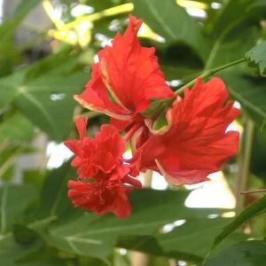 レッドフラミンゴの花は