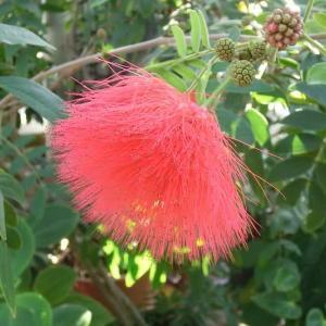 レッド・パウダーパフの花は