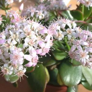 サクラカゲツの花は