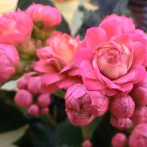クィーンローズの花は