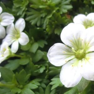 クモマグサ・ラージホワイトの花は