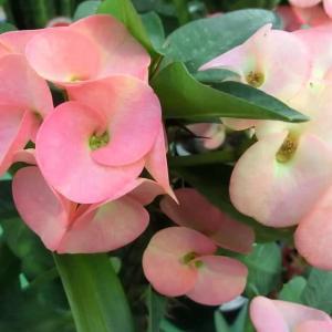 ハチフクジンの花は