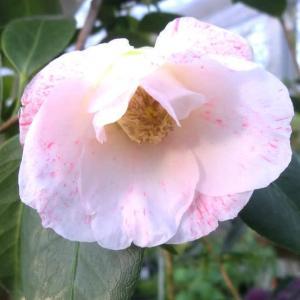 フブキシラタマの花は