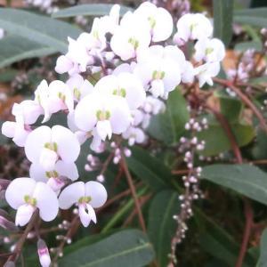 ハーデンベルギアの花は