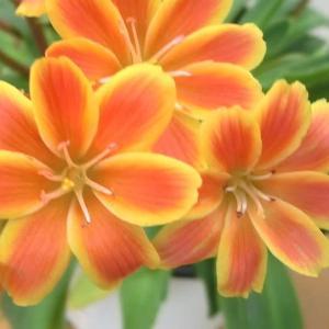 レウイシアの花は