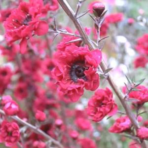 ギョリュウバイの花は
